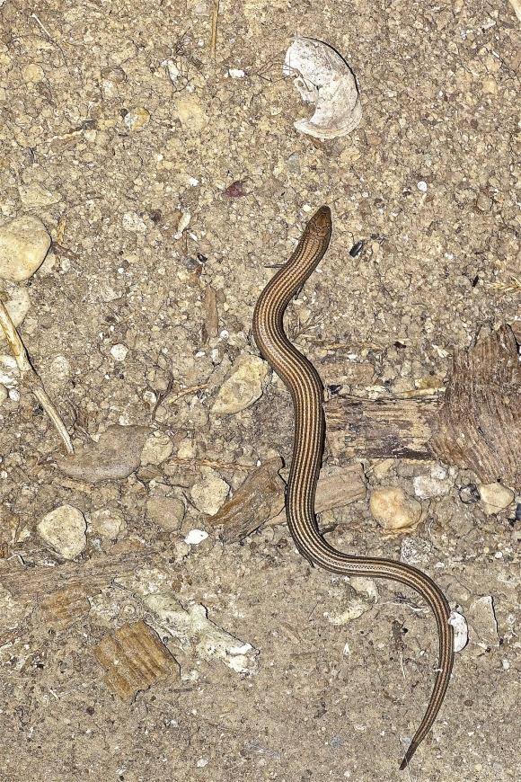 Garrigues Basses,Lédenon, Reptile, Seps strié