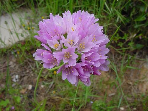 Allium-roseum--9.jpg