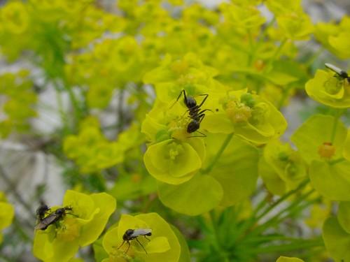 Euphorbia-cyparissias--5.jpg