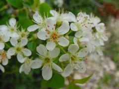 Prunus-mahaleb-10.jpg