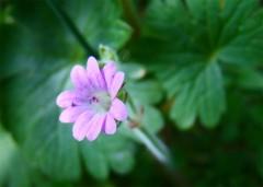Geranium-molle.jpg