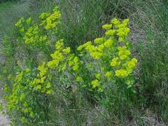 Euphorbia-serrata-5.jpg
