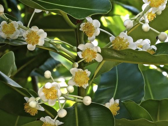 Voyages, Polynésie, Bora Bora, Tamanu, Plantes médicinales