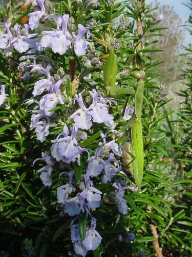 Rosmarinus-officinalis-13.jpg