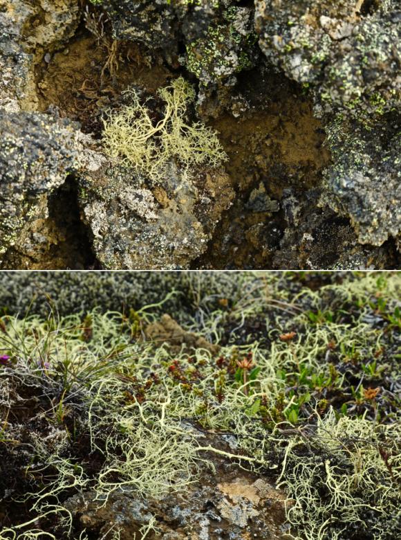 voyages,islande,le nord,lichens