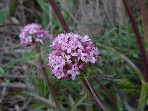 Valeriana tuberosa 11.JPG