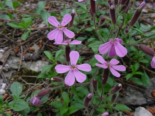 Saponaria ocymoides 1.JPG