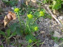 Euphorbia-cyparissias--1.jpg