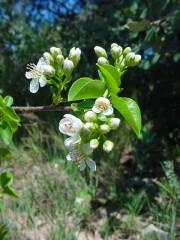 Prunus mahaleb  3.JPG