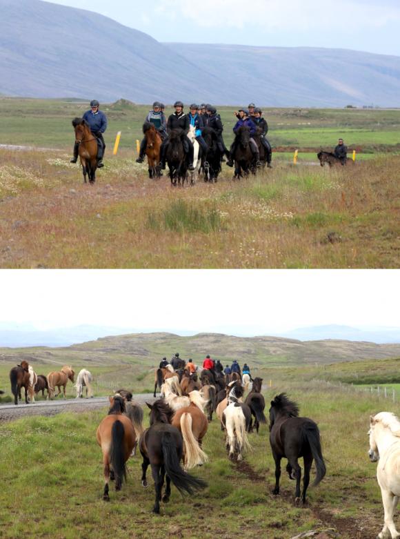 Voyages,Islande, Cheval islandais