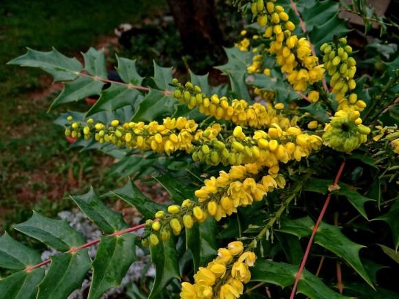 Janvier Un Arbuste Au Jardin Apcv De Ledenon